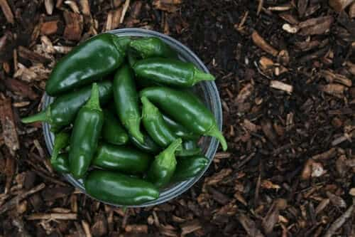 Green Peppers in a Dish